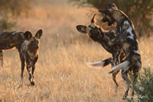 kwihala camp wild dogs